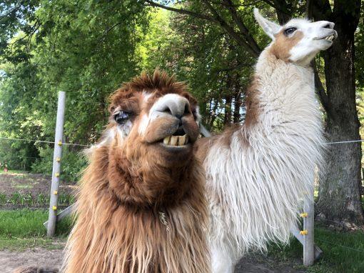 carlsons-llovable-llamas-1