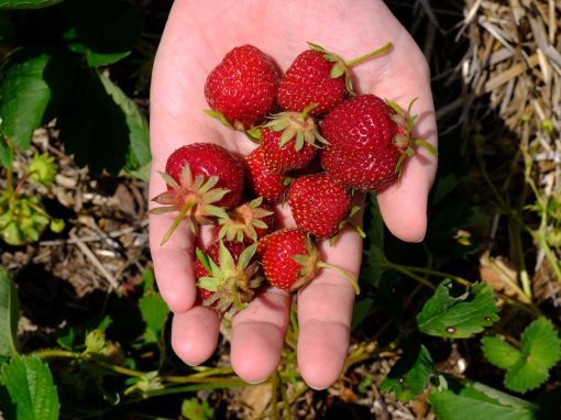 rods-berry-farm-1